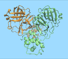 Illustration showing the structure of the main protease
