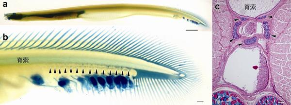 背骨を持たない脊椎動物「ヌタウナギ」に背骨の痕跡を発見