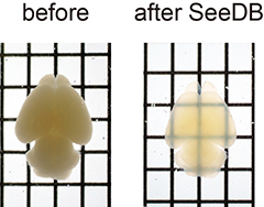 Photos of mouse brain before and after treatment with SeeDB