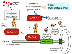 Ubiquitination of MAO-A
