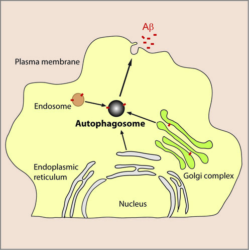 Figure showing the role of autophagy in Aβ secretion from neurons