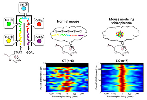 Figure showing abnormal activity in hippocampal place cells in mice modeling schizophrenia