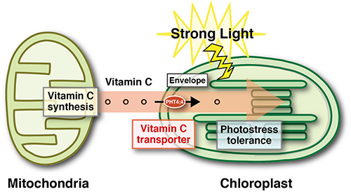 Image showing role of vitamin C in combatting photo inhibition