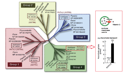 Image showing phylogenetic tree of the plant PHT4 transporter family