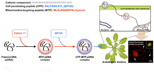 Schematic representation of the gene delivery strategy using engineered peptides