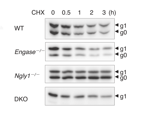 Figure showing that the model protein was not degraded in cells lacking Ngly1