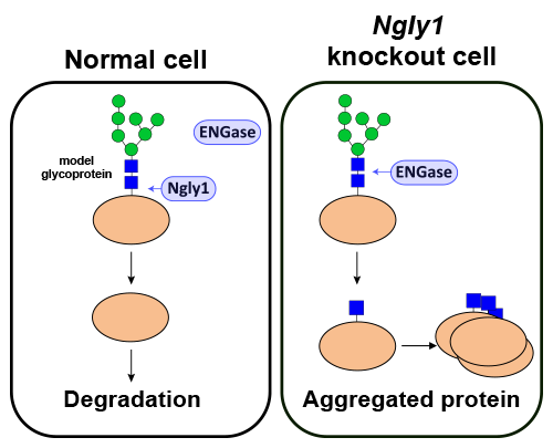 Images showing ENGase-mediated formation of incompletely deglycosylated proteins in cells lacking Ngly1