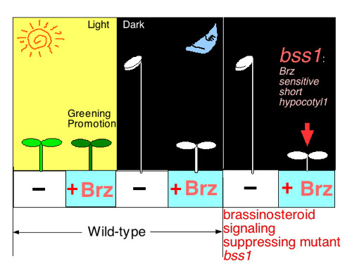 Comparison of plants expressing and not expressing Brz