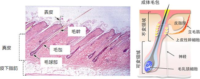 マウスiPS細胞から皮膚器官系の再生に成功