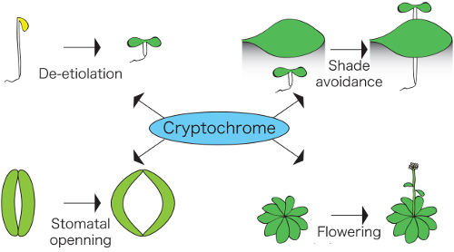 schematic showing functions regulated by cryptochromes