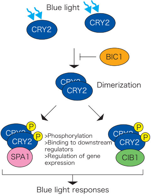 how cryptochromes affect responses to blue light