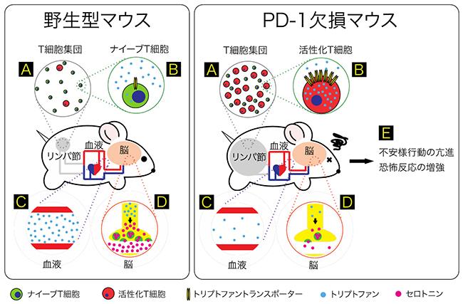 ポーター セロトニン トランス セロトニントランスポーター遺伝子