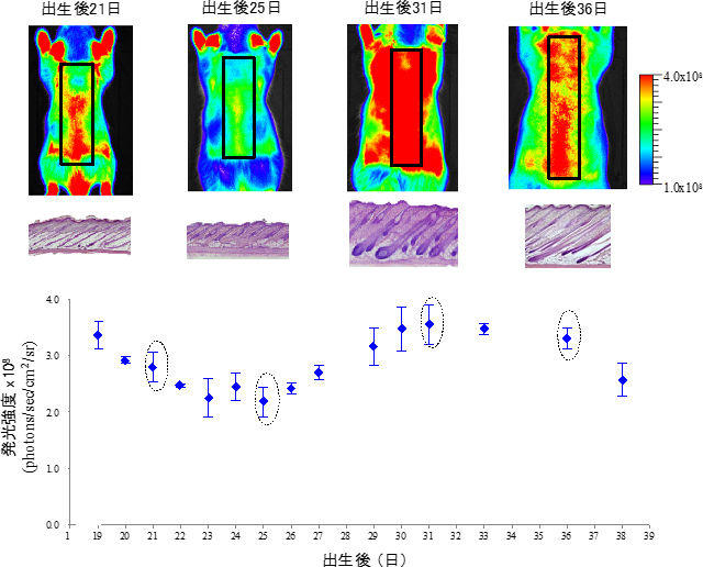 毛包NG2細胞のin vivo発光イメージングによる幼若期ラットの毛周期モニタリングの図