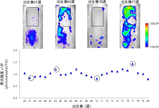 毛包NG2細胞のin vivo発光イメージングによる老齢ラットの毛周期モニタリングの図