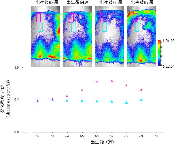 老齢ラットの不均一な毛周期の図