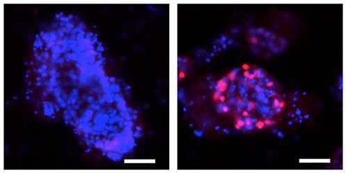 オルガノイドにおけるp52/RelBの強制発現によるSpi-Bの発現誘導の図