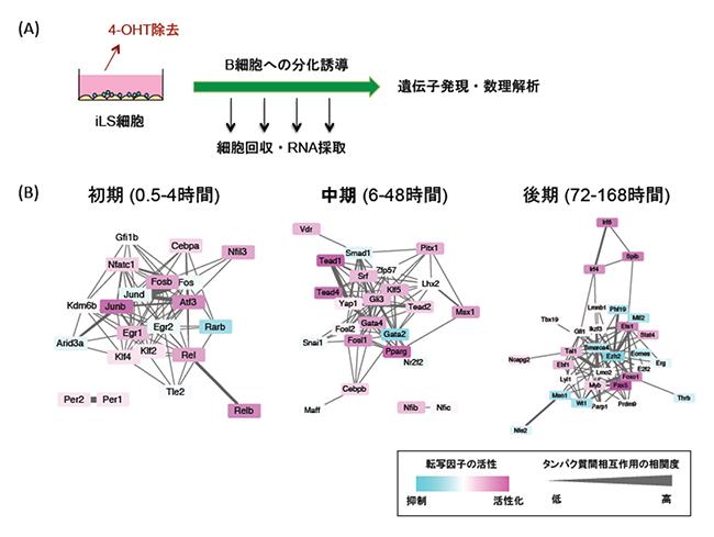 iLS細胞を用いたB細胞への分化誘導とB細胞分化を制御する転写ネットワークの図