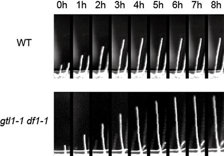 シロイヌナズナgtl1-1 df1-1二重欠損変異株の根毛の図