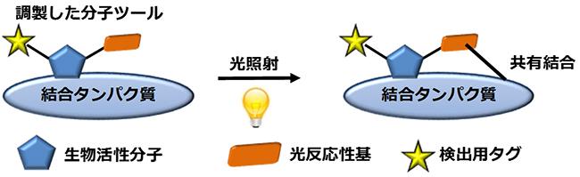 光親和性標識法の概略図