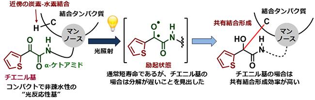 新たに開発した光反応性基:チエニル基置換型α-ケトアミドの図