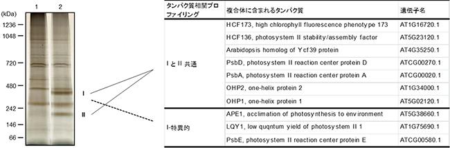 OHP1と相互作用するタンパク質の同定