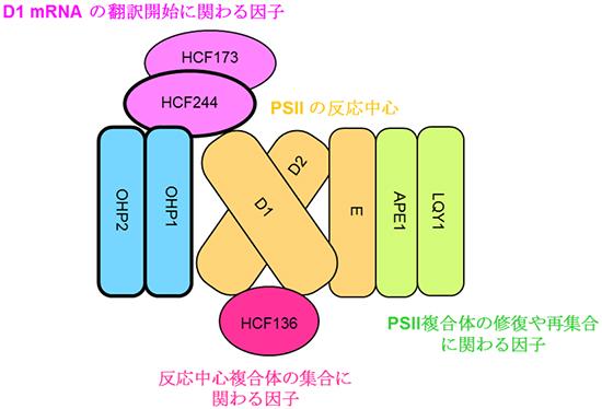 本研究から提案された植物の光化学系Ⅱ(PSII)の分子集合の初期過程のモデル
