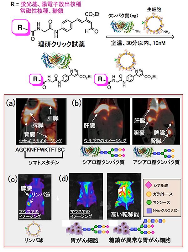理研クリック試薬によるタンパク質や生細胞の標識化とイメージングの図