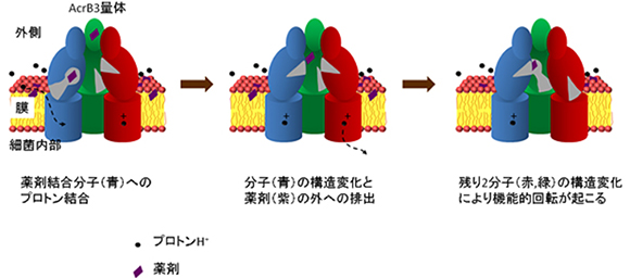 プロトン結合に起因したAcrBの薬剤排出と機能的回転の図