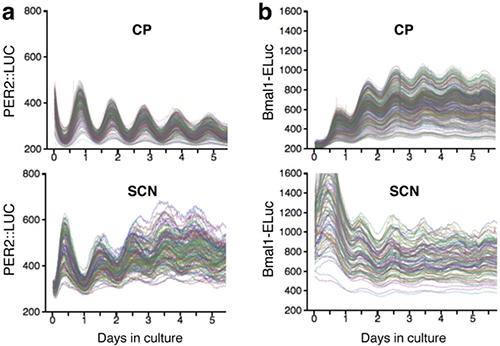 脈絡叢(CP)と視交叉上核(SCN)の概日リズムの比較の図