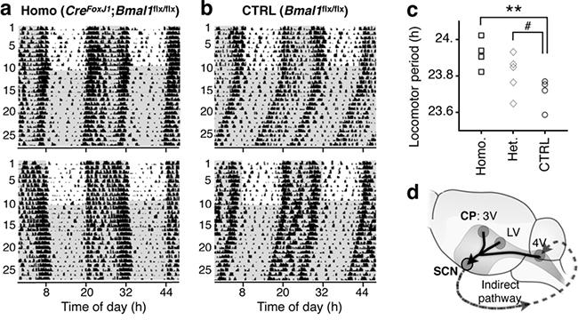 脈絡叢の時計遺伝子Bmal1欠損マウス行動リズムの延長の図