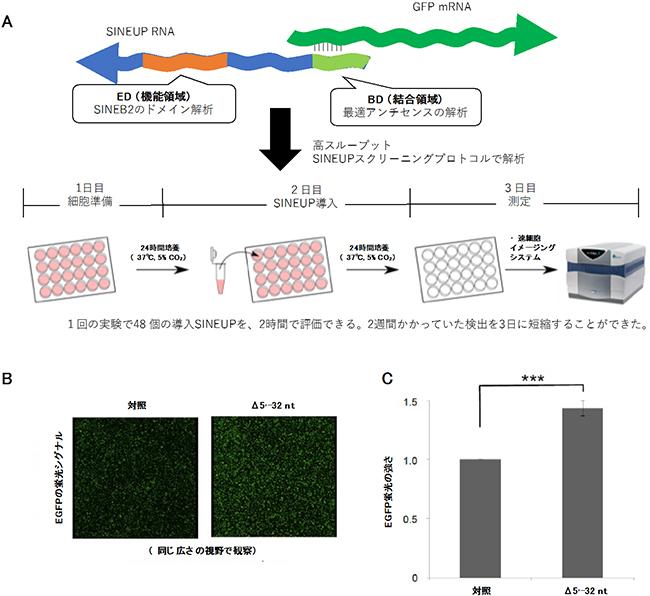 翻訳を促進するアンチセンスRNAの機能解析 | 理化学研究所