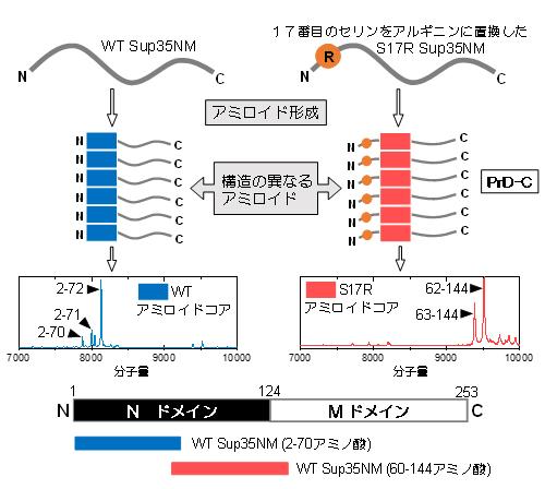 Sup35NM S17R変異体のアミロイド構造の変化の図