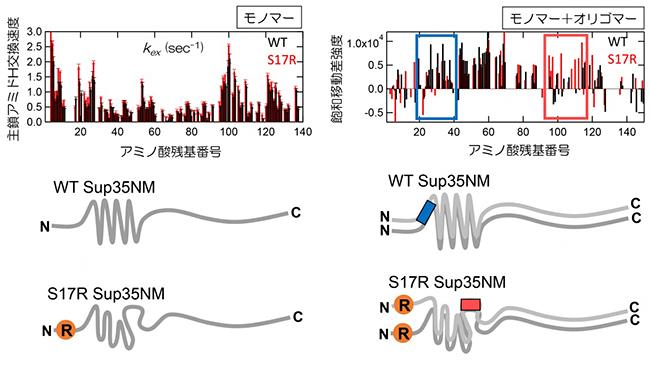 Sup35NMのWTとS17R 変異体のモノマー、オリゴマー構造の相違点の図