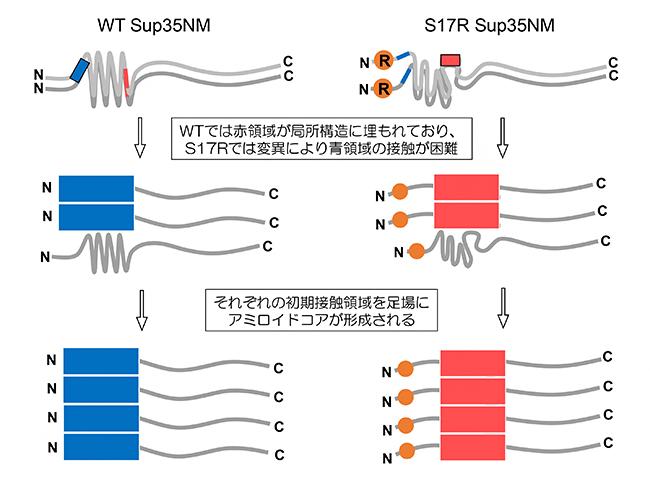 Sup35NMのWTとS17R 変異体のアミロイド形成過程のモデルの図