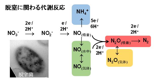微生物が行う脱窒反応の経路の図