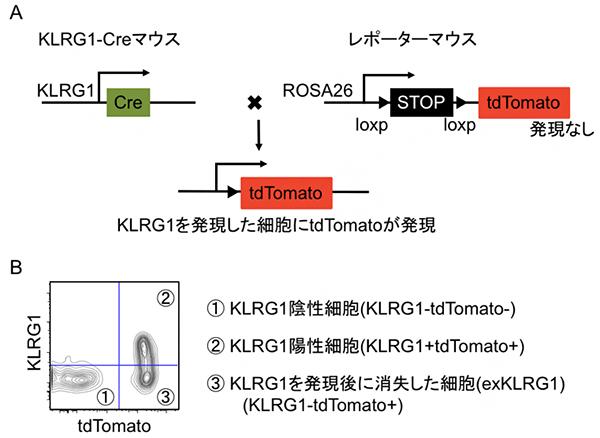 細胞系譜追跡法を用いた記憶キラーT細胞分化機構の解析の図