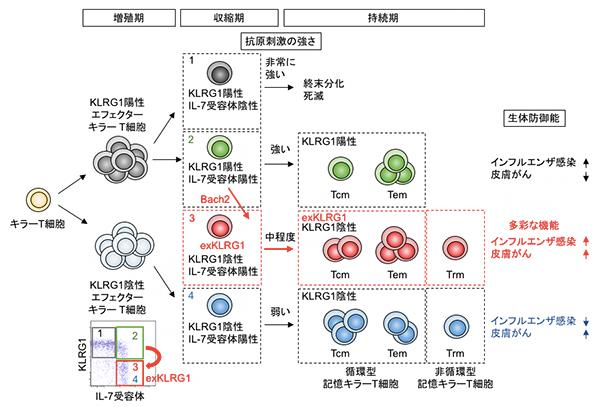 KLRG1陽性細胞の分化可塑性による記憶キラーT細胞の多様性形成の模式図
