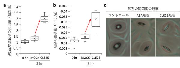 CLE25ペプチドをシロイヌナズナの根から吸収させた実験の図