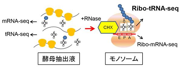 翻訳中tRNAの網羅的解析手法を開発   理化学研究所
