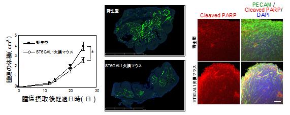 ST6GAL1欠損マウスにおける腫瘍の解析結果の図