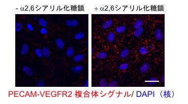 PECAM同士の相互作用阻害に伴うPECAM-VEGFR2複合体の細胞内取り込みの図