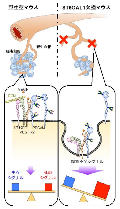 α2,6-シアル酸依存的に腫瘍内血管新生が減少する仕組みの模式図