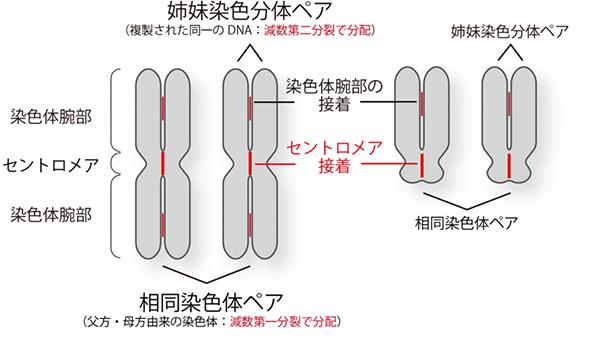 セントロメア接着、姉妹染色分体、相同染色体の関係の図