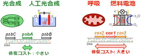 人工光合成の酸素発生反応と燃料電池の酸素還元反応の違いの図