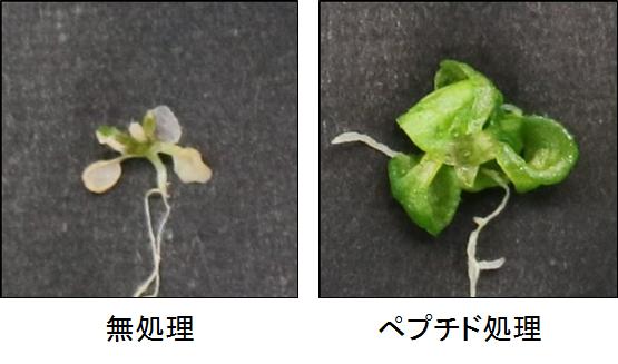 シロイヌナズナを用いた塩ストレス耐性試験の結果の写真