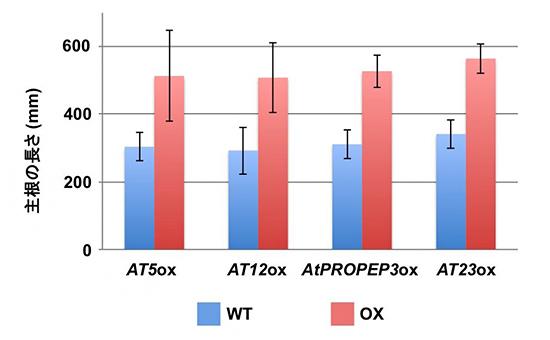 塩ストレス耐性を示す四つの短い遺伝子の過剰発現体の根の伸長の図