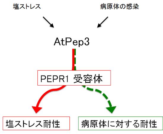 AtPep3ペプチドの機能のイメージ図