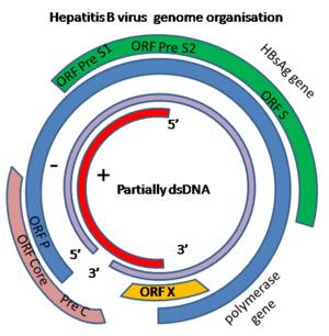 B型肝炎ウイルス(HBV)ゲノムがコードする遺伝子の図