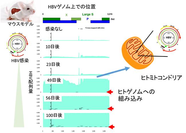 HBV感染マウスモデルにおけるHBVのヒト肝臓への組み込み時期の図