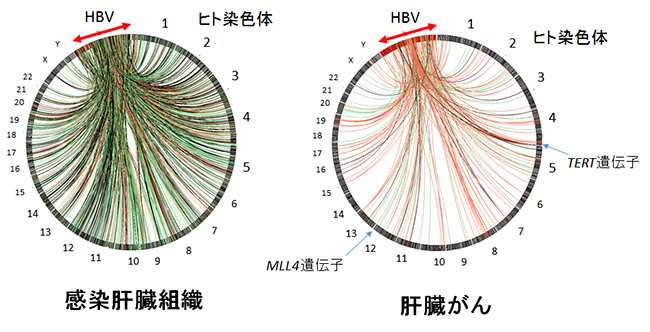 HBVゲノムのヒトゲノムへの組み込みの図